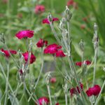 Rose Campion (Lychnis)