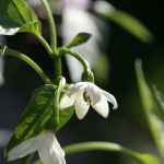 VEG Garden Salsa hot pepper flower