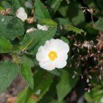 RockRose (Cistaceae)
