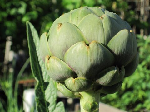 green globe artichoke