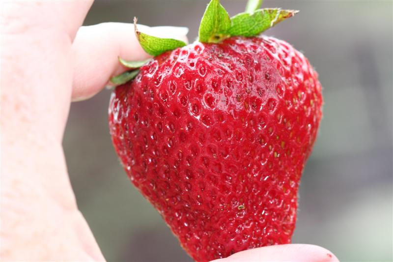 Big Juicy Strawberry