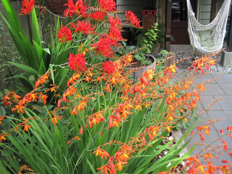 Crocosmia And Hammock Chair