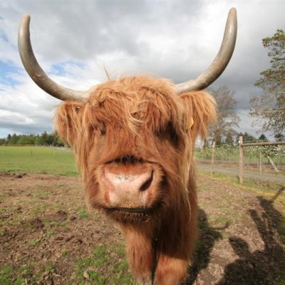 Wordless Wednesday: Highland Cow from White Oaks Farm