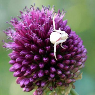 Garden Visitor: Goldenrod Crab Spider in White