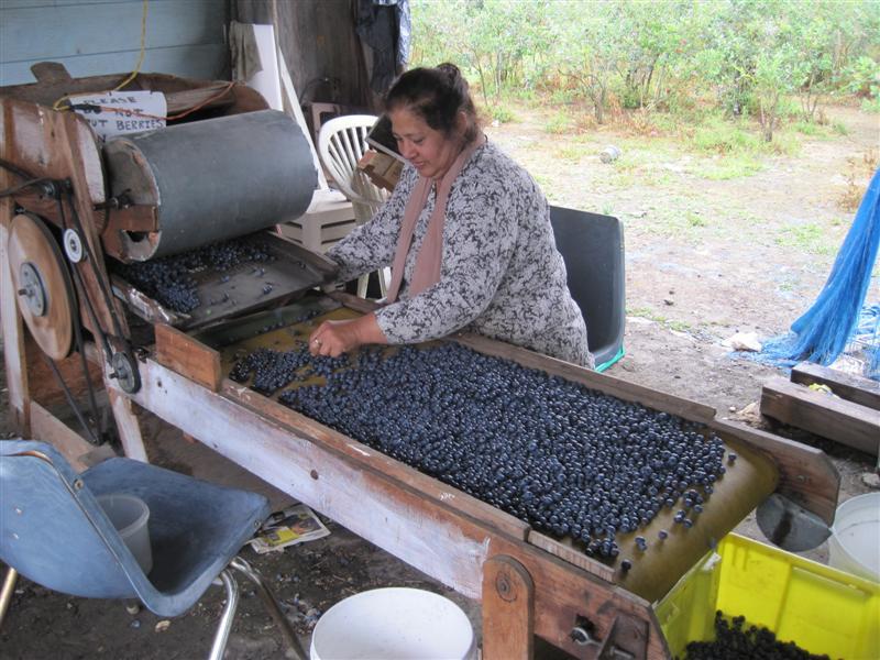 blueberry picker machine