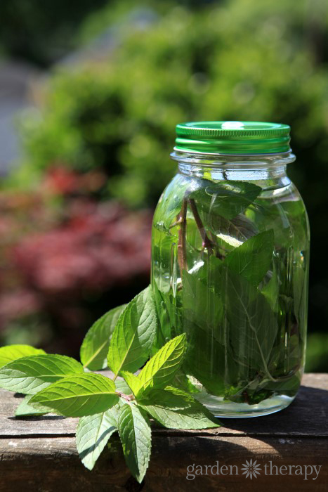 Chocolate Mint Sun Tea Instructions
