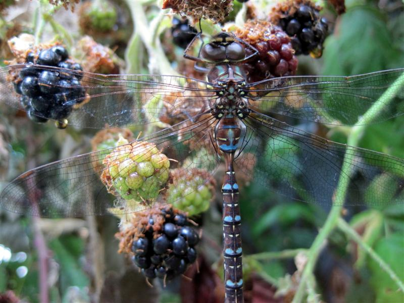Dragonfly And Blackberries Medium