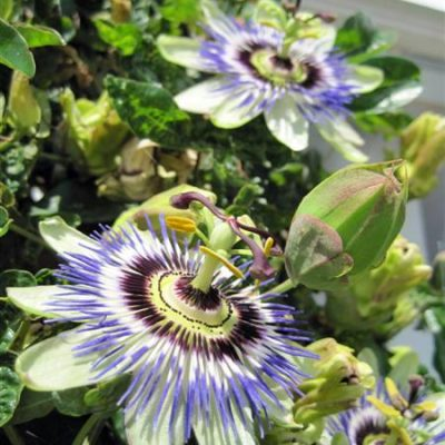 Hardy Blue Passion Flower