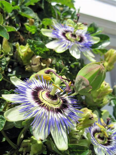 Hardy Blue Passion Flower Vine