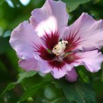Hibiscus syriacus 'Double Purple'