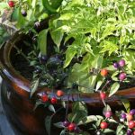 Hot Pepper Containers