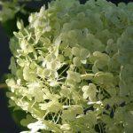 Hydrangea - white