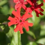 Lychnis 'Maltese Cross'