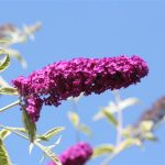 Verigated Butterfly Bush