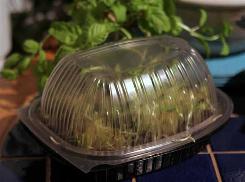 Grow sunflower sprouts indoors