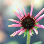 Echinacea 'Twilight'