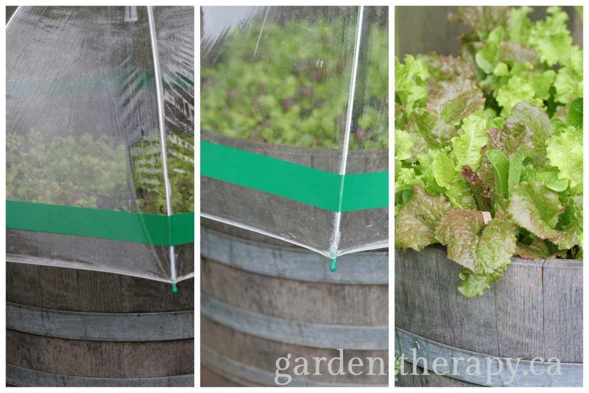 Umbrella Greenhouses Growing Lettuce