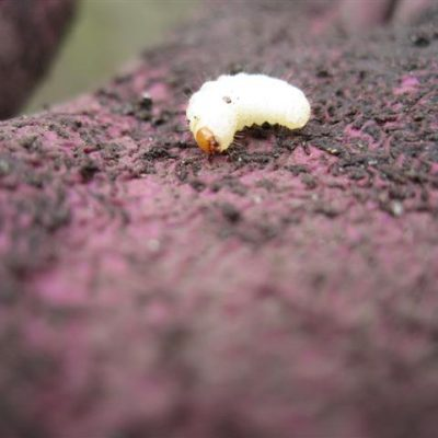 Strawberry Root Weevil Grubs