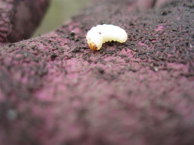 Strawberry Root Weevil Grub