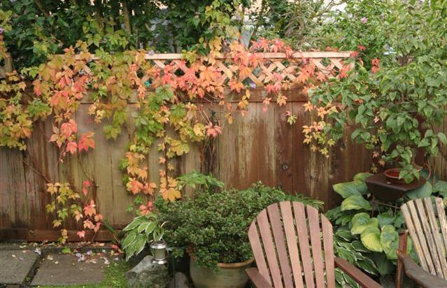 Virginia Creeper In The Fall