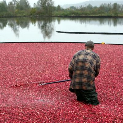 Fall Cranberry Harvest: Touring the Cranberry Bogs in BC