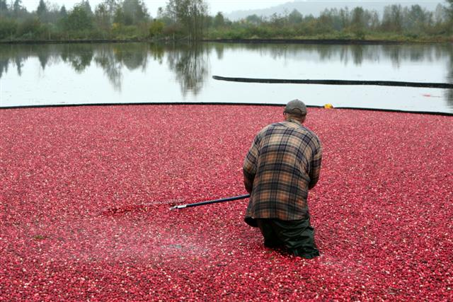 Touring the cranberry bogs in BC
