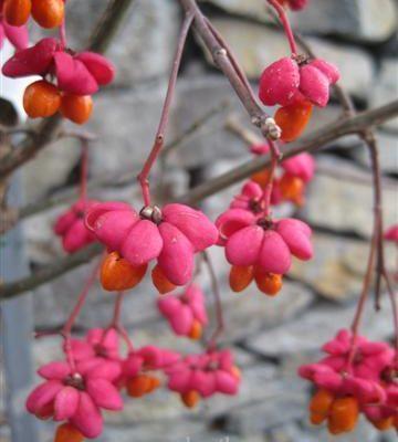 Euonymous europaeus AKA European Spindle Tree