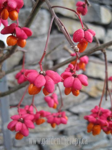 Euonymous Europaeus Aka European Spindle Tree Small