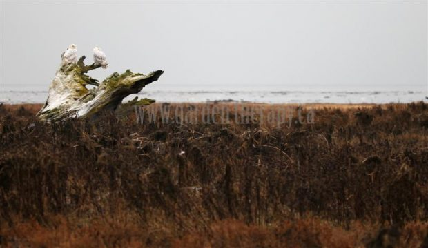 Snowy owls in Boundary Bay