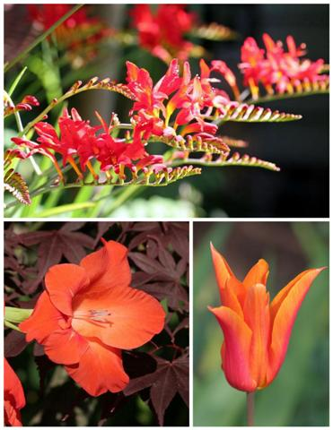 Tangerine Tango Trend Color Garden Flowers Plants Small