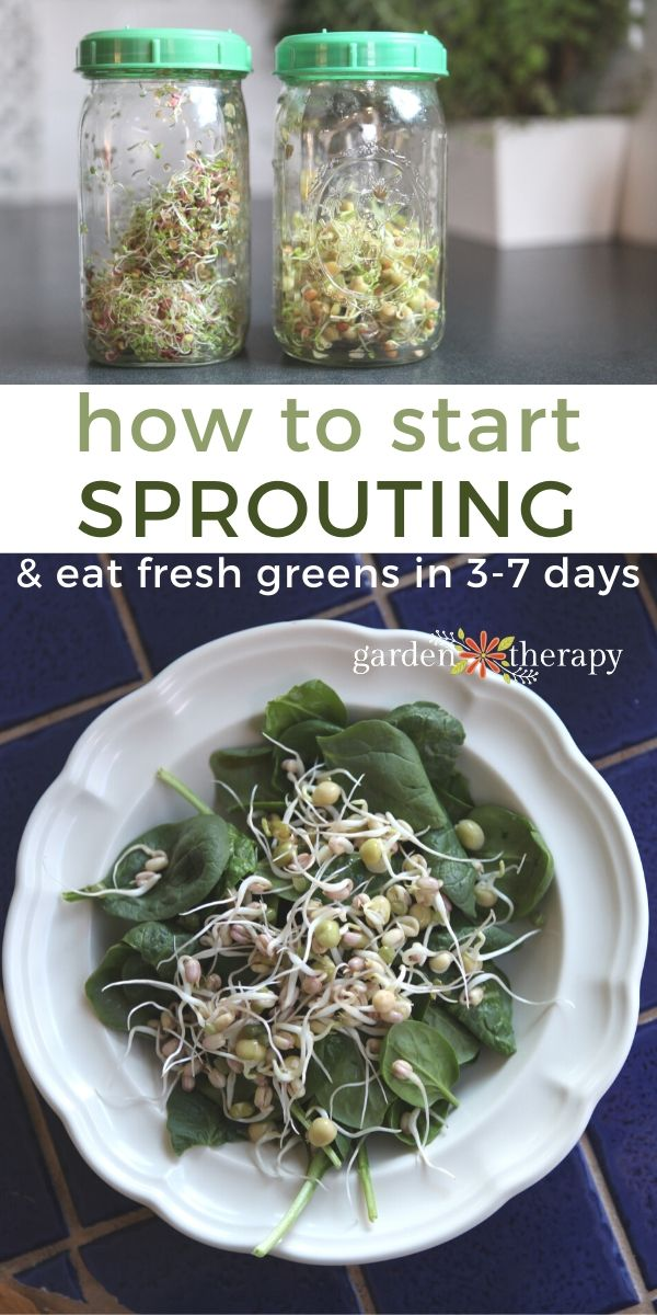 How to Start Sprouting for Yummy Greens