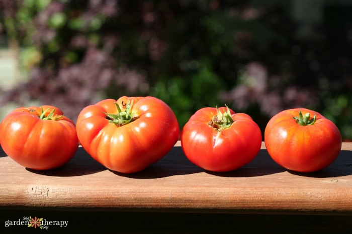 Garden Tomatoes in a Row