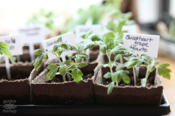 seed starting tomatoes