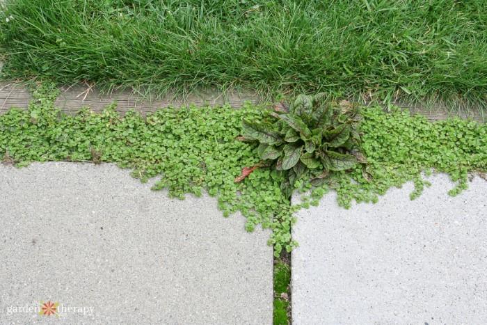 Edible plants growing between patio pavers