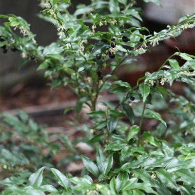 February Feature Plant: Sarcococca confusa