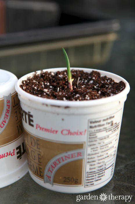 DIY Seed starting containers from recycled yogurt cups - lots of ideas for the best and worst seed starting containers to make