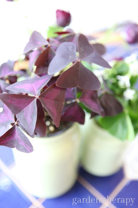 Purple oxalis in a sage green painted mason jar vase
