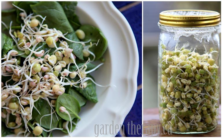 Sprouting Mung Beans and Green Peas in Mason Jar finished sprouts on salad (Small)
