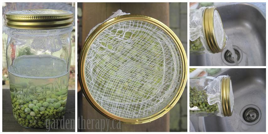 Mason Jar Sprouts