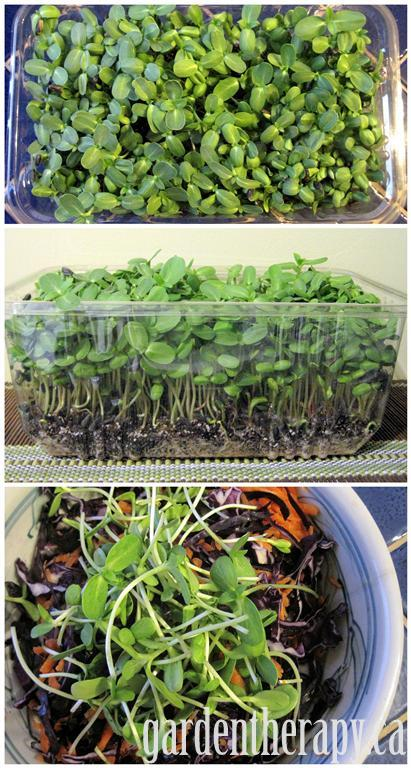 Growing micro greens, day 15