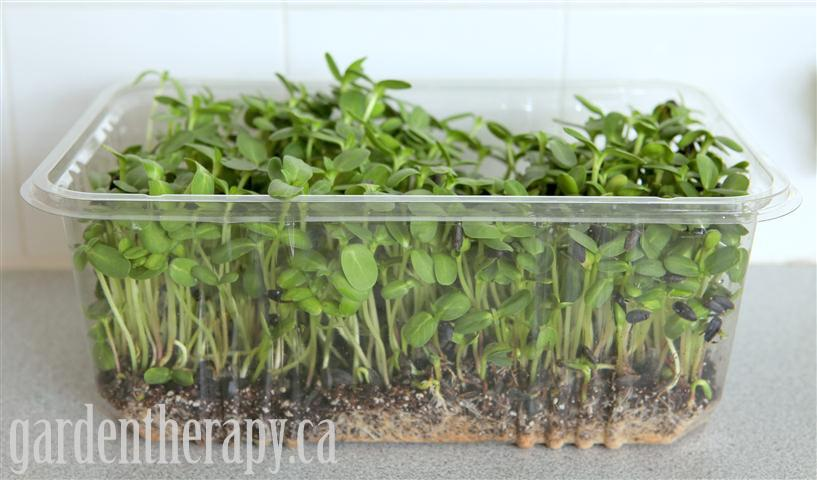 Sunflower micro greens