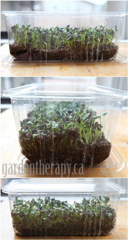 Growing micro greens, day 7