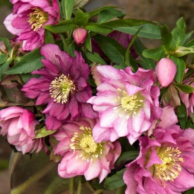 5 Stunning Hellebore Varieties You MUST See!