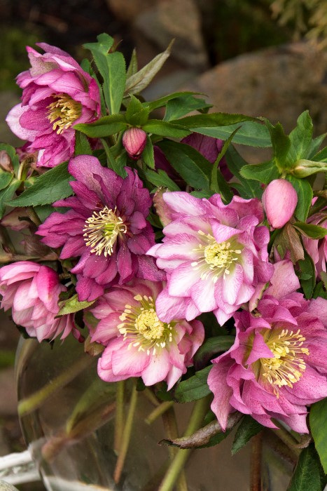 Windcliff Double Pink Lenten Rose -Hellebore