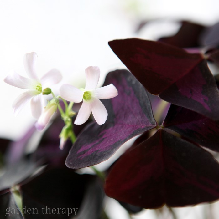 Delicate Purple And White Blooms Of Oxalis