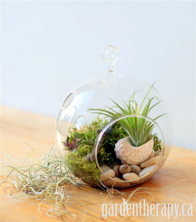 Glass Globe terrarium Sedum Air plants tillandsia shell moss