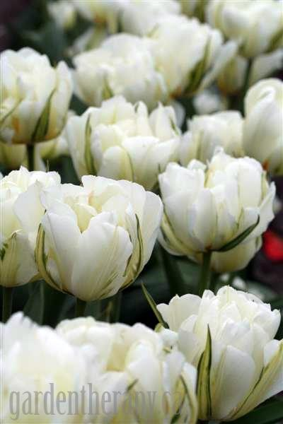 Green Emperor Tulips
