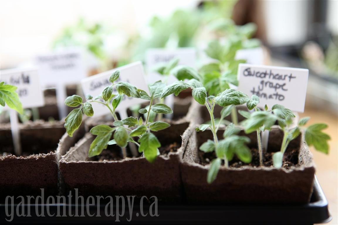 Heirloom Tomato Seedlings In Coconut And Peat Pots Medium