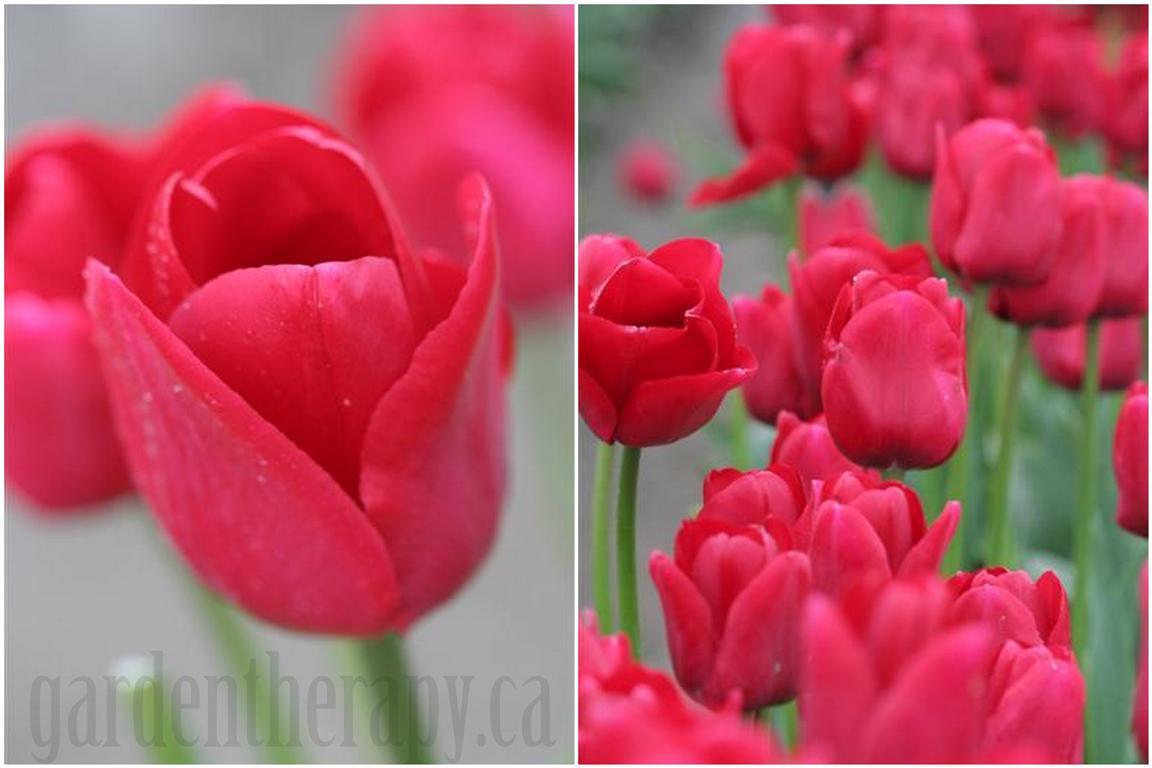 Ile de France Tulips