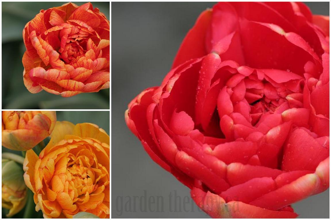 Miranda Tulips